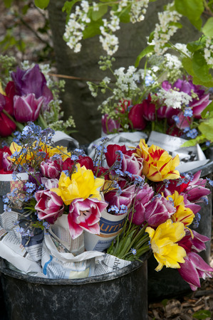 fresh news: tulips fresh cut from field in bucket reped in news paper Stock Photo
