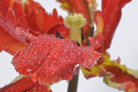 parot: beautiful red parot tulip on white background