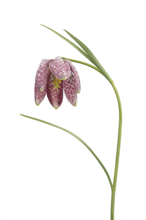 Fritillaria meleagris isolated on white