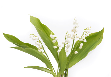majalis: Lily of the Valley (Convallaria Majalis) isolated on a white background Stock Photo