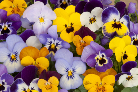 mixed colors of pansy flowers in spring garden