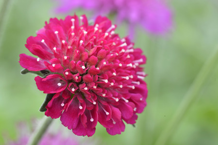 Beautiful flower Knautia macedonicain  in a garden Stock Photo