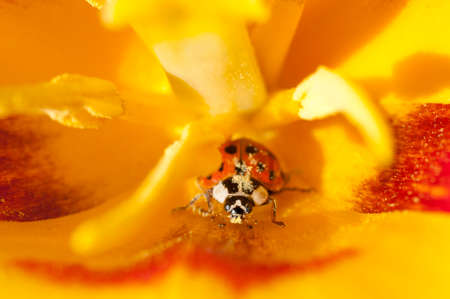 lady bug: close up lady bug in yellow tulip