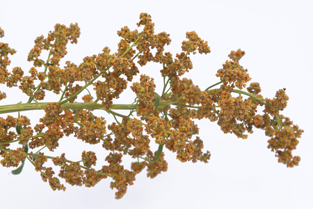 Quinoa plant isolated on a white background