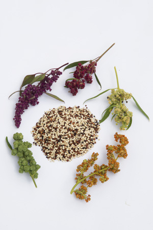 quinoa seed mix and plant isolated on white background Stockfoto