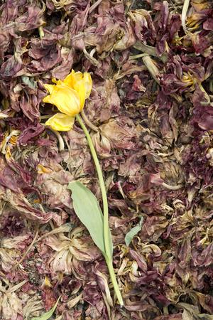 retro flowers: Yellow tulip on dead Tulips in a field