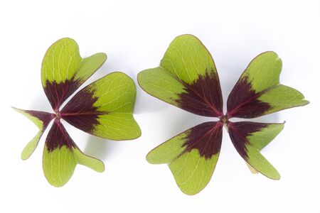four leaved: two lucky clovers isolated on whiet background Stock Photo
