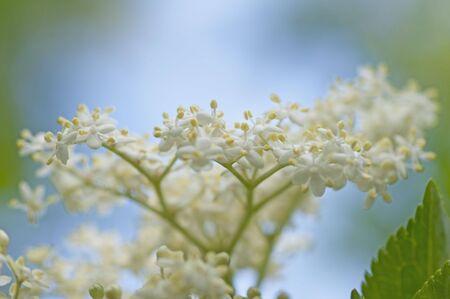 Fresh Elderflower in garden on a beautiful summer day