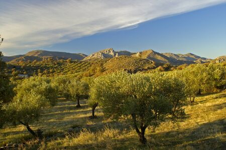 olive green: olive trees in Greece, at the beautiful Greek Island, Lesvos