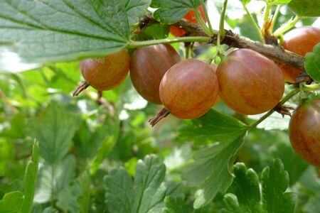 power food: delicious summer fruit gooseberry hanging on a branch Stock Photo