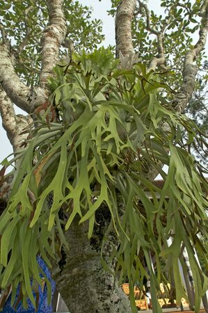beautiful green elkhorn fern in tree Indonesia Stock Photo