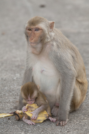 cary: monkey with young on a road troughthe jungle of thailand