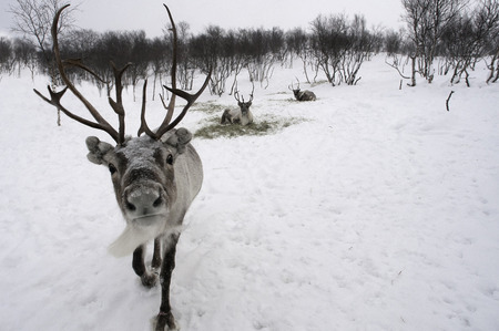 beautiful reindeer in snow at Christmas time