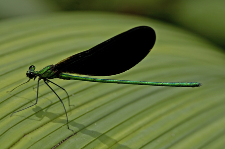 sunshine insect: Dragonfly on a banana leaf  in the jungle of Laos Stock Photo