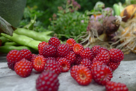 frash picked Mulberry on a garden table in the garden Stock Photo