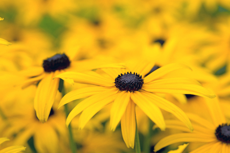 Black-eyed-susans flowers in summer garden