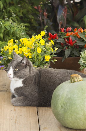 mixed wallpaper: cat on gardentable with pumpkin and plants in autumn