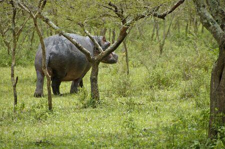 Hippo in National parc Mburo Uganda. Stock Photo