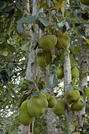 The Durian fruit tree, Africa Stock Photo