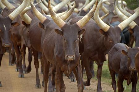 moo: Flock of cattle cows in Uganda