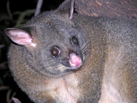 possum spotted at night tour