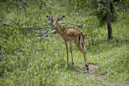 Young female impala antelope in Lake Mburo National parc Uganda