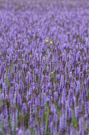 beautiful purple field of Agastache with one yellow flower Stock Photo