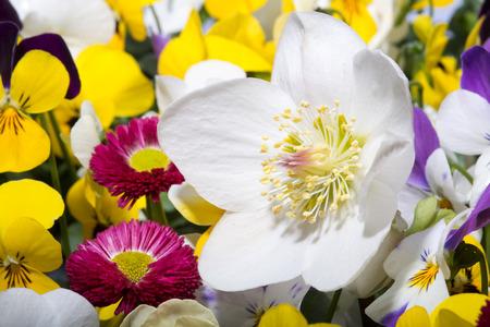 Hellebore in spring setting with Pansy, Primula and Bellis