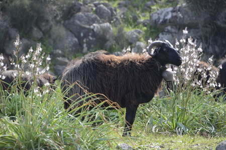aries: sheeps are walking in grassland at springtime