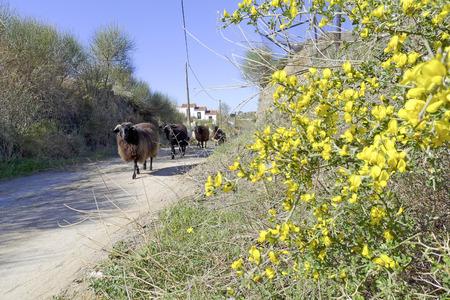 ovine: sheep walking in grassland at springtime, Lesvos