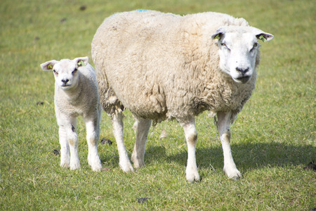 ovine: sheep walking in grassland at springtime at Texel The Netherlands Stock Photo