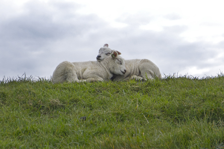 sheep walking in grassland at springtime at Texel The Netherlands Stock Photo