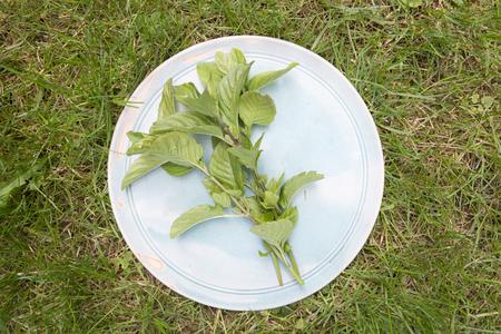 field mint: mint on plate on grass field in garden