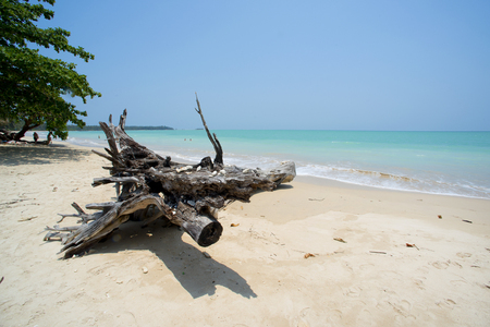 white sand: old tree at white sand beach Khao lak