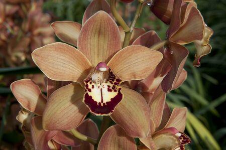 botanics: Close up boat orchid (Cymbidium) in The Netherlands Stock Photo