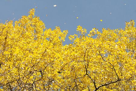 indian summer: autumn leaves in Indian Summer