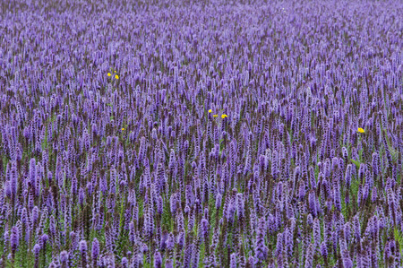 hyssop: Agastache foeniculum (blue giant hyssop; syn. Agastache anethiodora (Nutt.) Britton), commonly called anise hyssop, blue giant hyssop, Fragrant giant hyssop, or the lavender giant hyssop, is a species of perennial plant in the mint family. It is tolerant  Stock Photo
