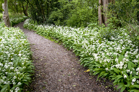 acidic: Allium ursinum grows in deciduous woodlands with moist soils, preferring slightly acidic conditions. It flowers before deciduous trees leaf in the spring, filling the air with their characteristic garlic-like scent.