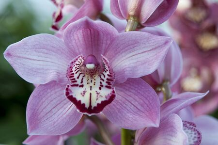 lier: Close up boat orchid (Cymbidium) in The Netherlands Stock Photo