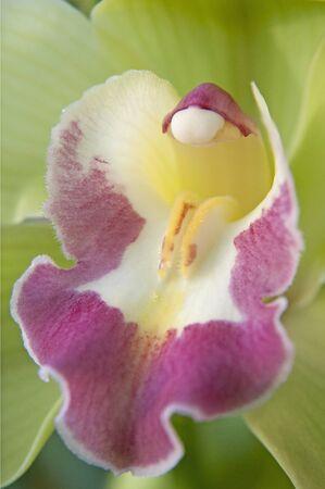 botanics: green boat orchid (Cymbidium) Stock Photo