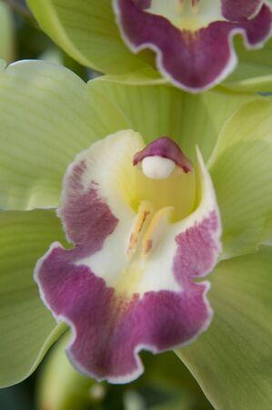 lier: green boat orchid (Cymbidium) Stock Photo