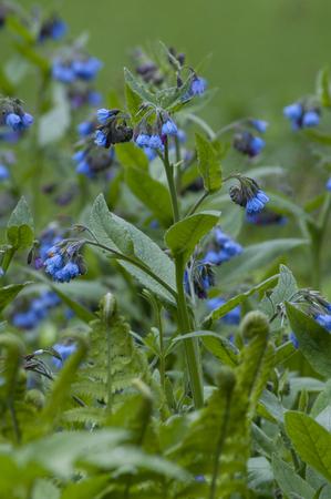Blue flowering Bruisewort (Symphytum officinale) in a green garden