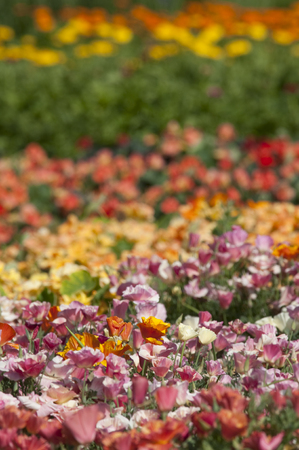 Escholzia is a genus of 12 annual or perennial plants in the Papaveraceae (poppy) family. The genus was named after the Baltic German botanist Johann Friedrich von Eschscholtz (1793-1831).