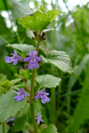 ground-ivy Glechoma hederacea in a green field