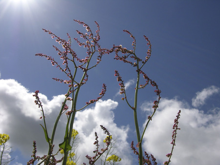 Sorrel, Rumex growing and flowering in the Netherlands Stock Photo