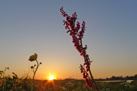 sorrel: sorrel in sunset in landscape The Netherlands