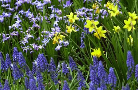 bulb fields: flowering bulb field with blue bells, Stock Photo