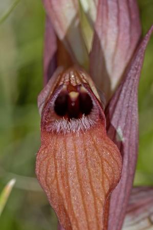 lingua: close up Eastern Tongue Orchid (Serapias cordigera)