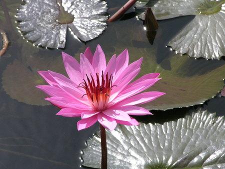 waterlilly: Pink waterlilly flowering in a garden pond Stock Photo