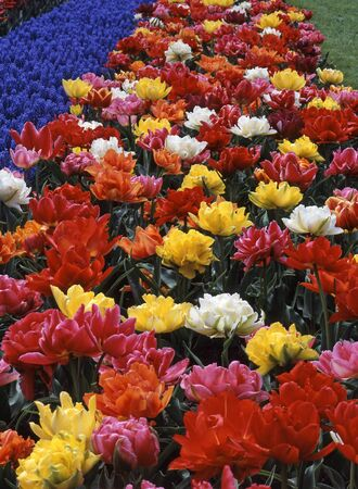 The tulip is a perennial, bulbous plant with showy flowers in the genus Tulipa, of which around 75 wild species are currently accepted